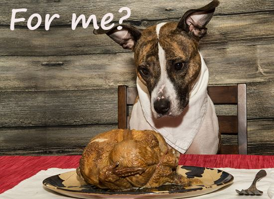 Pet dog eating Thanksgiving