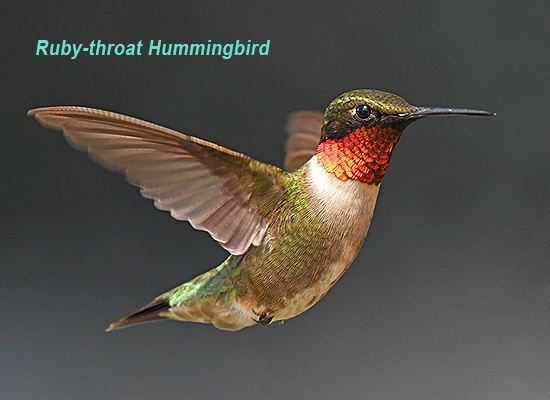 Ruby throated hummingbird WEB