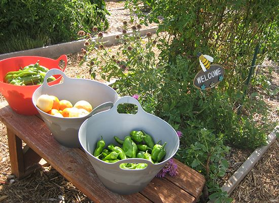 Plano Community Garden veggies